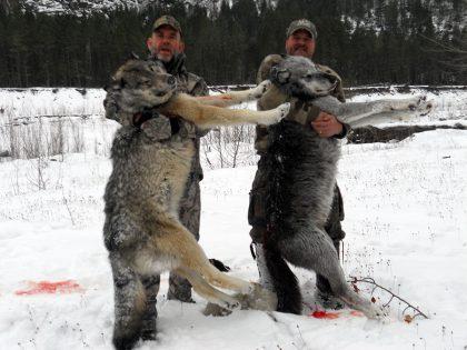 Wolf Hunt BC Canada