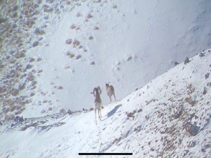 Argali Hunting Kyrgyzstan