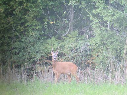 Roebuck Hunting