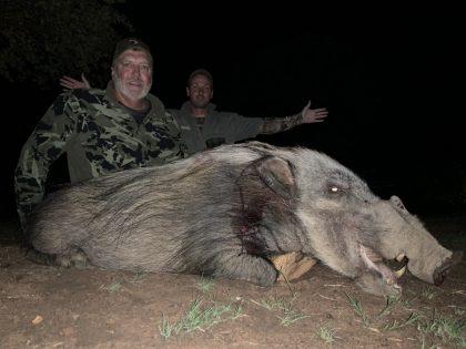South Africa Bushpig
