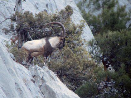 Turkey Ibex Hunting