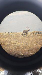 Yukon Caribou Hunting